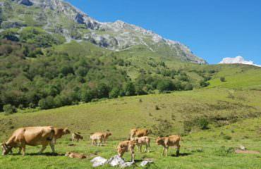 Cows Picos De Europa