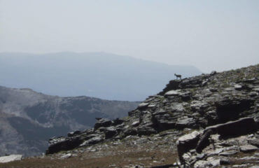 Ibex On Ridge